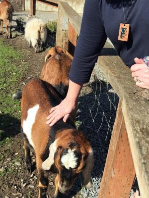 petting goat full