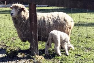 White sheep with lamb