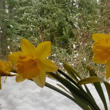 daffodils in window